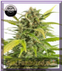Dinafem Auto Haze CBD Female 5 Weed Seeds